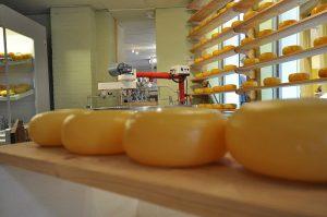 Käselaibe in einem Regal